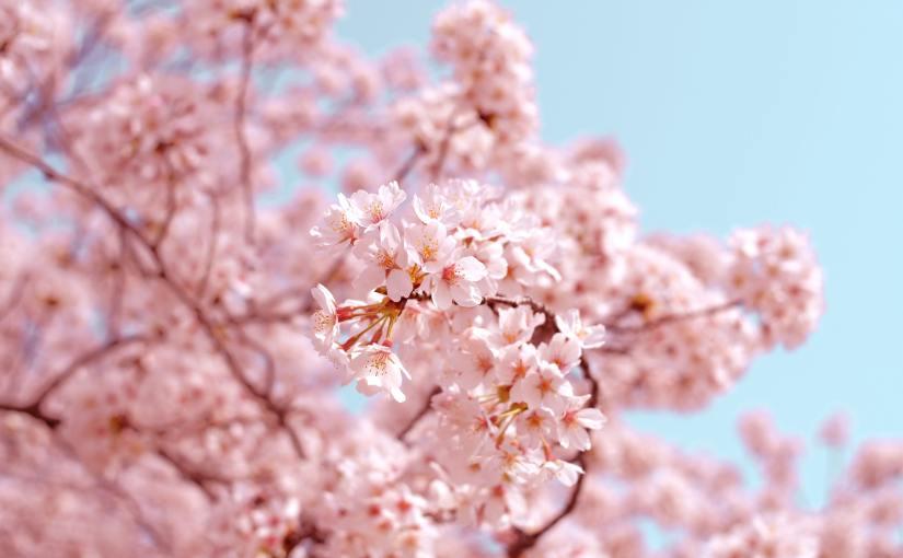 How to Celebrate Sakura Season (Hanami) in theU.S.